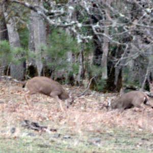 The magic of Chimney Rock - bucks sparring in front of the house.