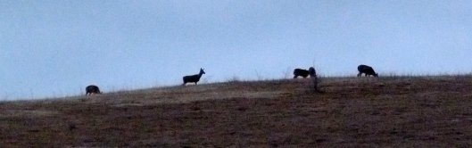 If we don't see deer on our hill in the evening, we're not looking!