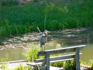 Our Great Blue Heron overseeing the pond from the raft.