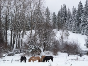 The ponies enjoy their morning hay. Behind them is the creek and their winter pasture.
