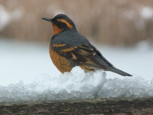 This varied thrush is enjoying the buffet of birdseed on our deck.